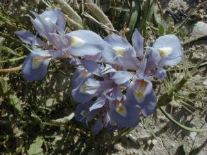 orchidea eraclea minoa